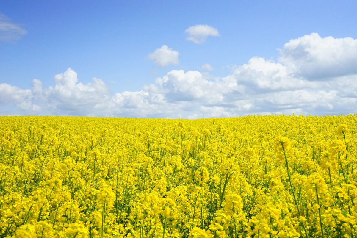 field-of-rapeseeds-474558_1920-1200x800.jpg