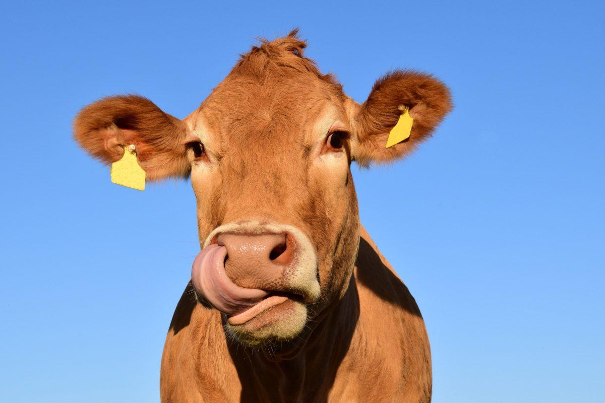 cow-1715829_1920-1200x800.jpg