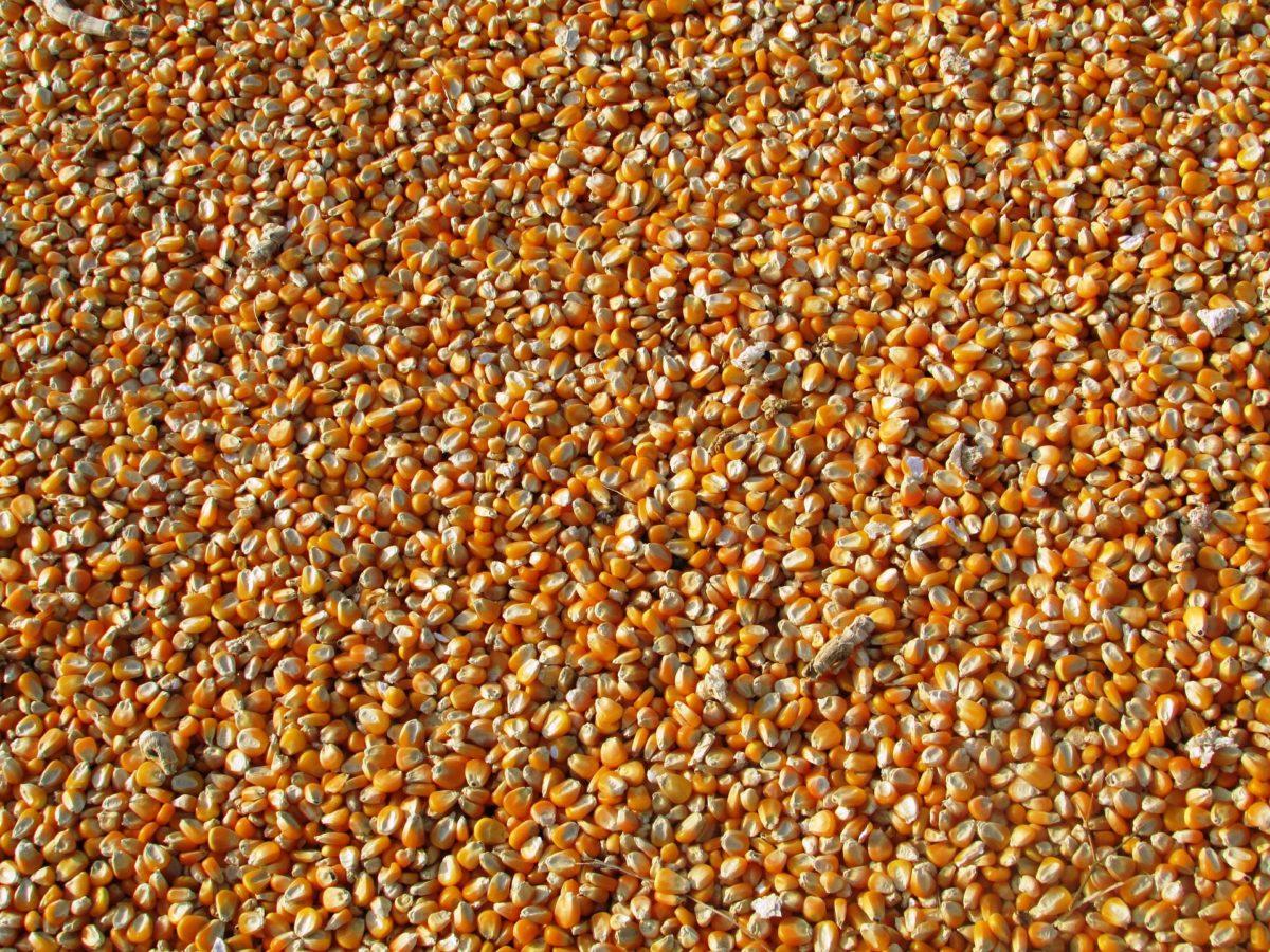 maize-264520_1920-1200x900.jpg