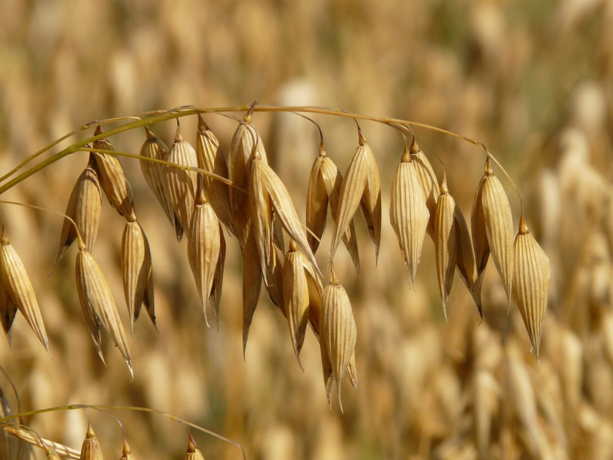oats-8946_1920-1200x900.jpg